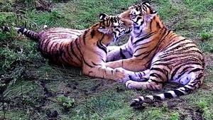 Дружба тигров в Приморье умиляет ее наблюдателей