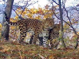 Леопарды могут вернуться в Южное Приморье