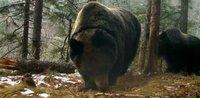 Уникальная медвежья семья живет в тайге Приморья