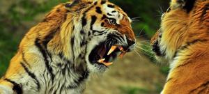 У границ Приморья поймали тигра-людоеда