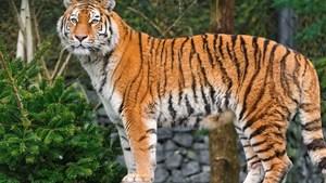 Убийца амурского тигра заплатит 1,6 миллионов рублей штрафа