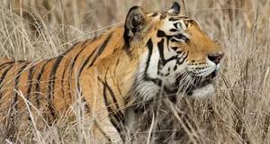 Жестокий приморец лишил жизни тигра в самом расцвете сил