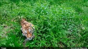 Тигрица Уссури отмечает день рождения в Приморье (видео)
