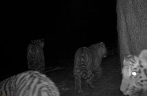 Редкая многодетная семья тигров попала в фотоловушки в Приморье